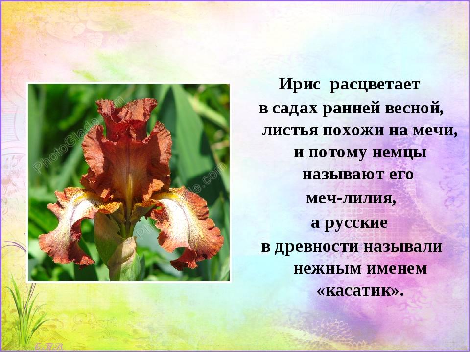 Ирис расцветает в садах ранней весной, листья похожи на мечи, и потому немцы...
