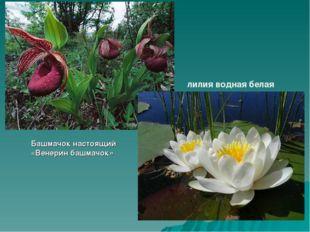 Башмачок настоящий «Венерин башмачок» лилия водная белая