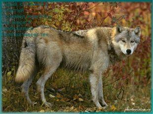 Серый, страшный и зубастый Произвел переполох. Все зверята разбежались. Напуг