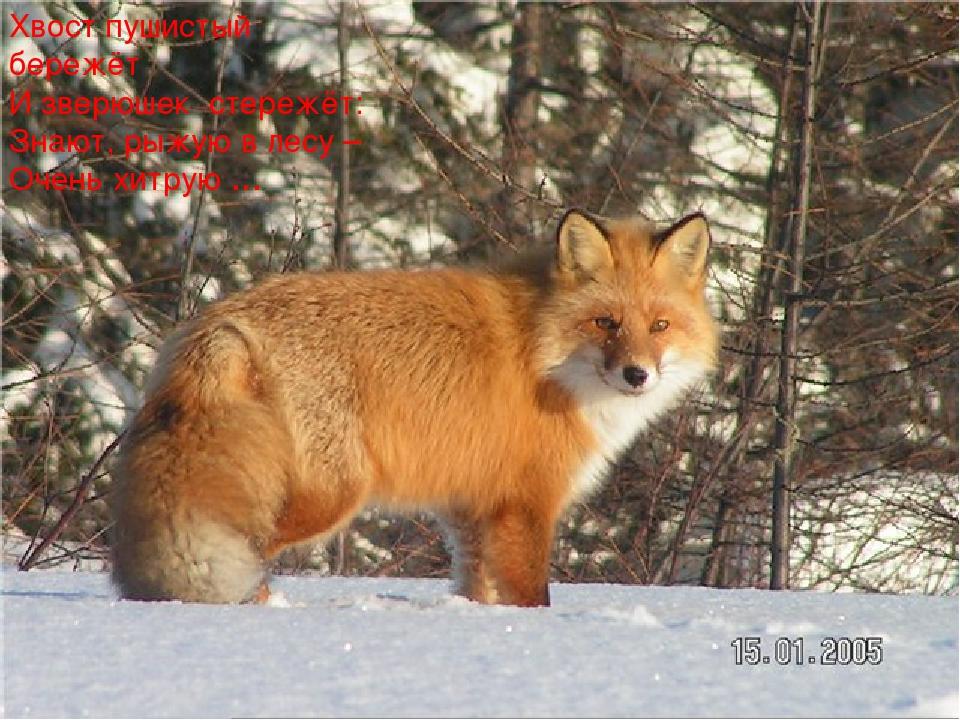 Хвост пушистый бережёт И зверюшек стережёт: Знают, рыжую в лесу – Очень хит...