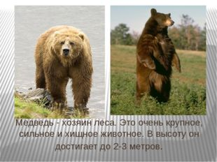Медведь - хозяин леса. Это очень крупное, сильное и хищное животное. В высоту
