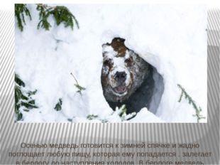Осенью медведь готовится к зимней спячке и жадно поглощает любую пищу, котора