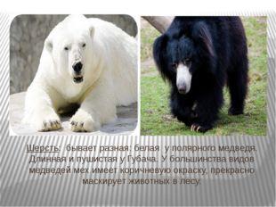 Шерсть: бывает разная: белая у полярного медведя. Длинная и пушистая у Губача