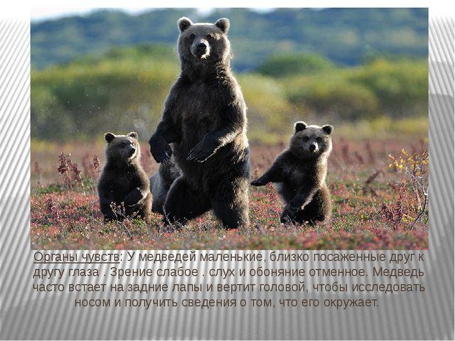 Органы чувств: У медведей маленькие, близко посаженные друг к другу глаза . З...