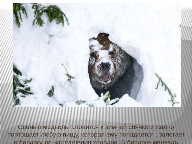 Осенью медведь готовится к зимней спячке и жадно поглощает любую пищу, котора...
