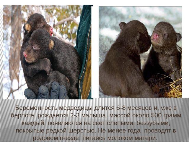 Беременность медведицы длится 6-8 месяцев и, уже в берлоге, рождается 2-3 мал...
