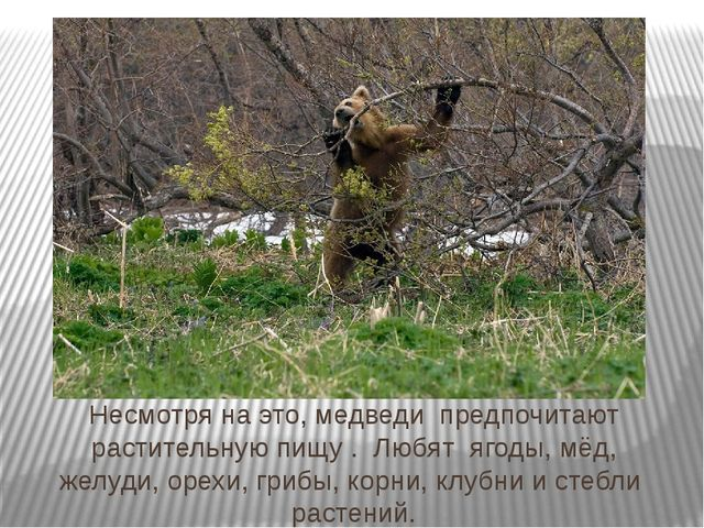 Несмотря на это, медведи предпочитают растительную пищу . Любят ягоды, мёд, ж...
