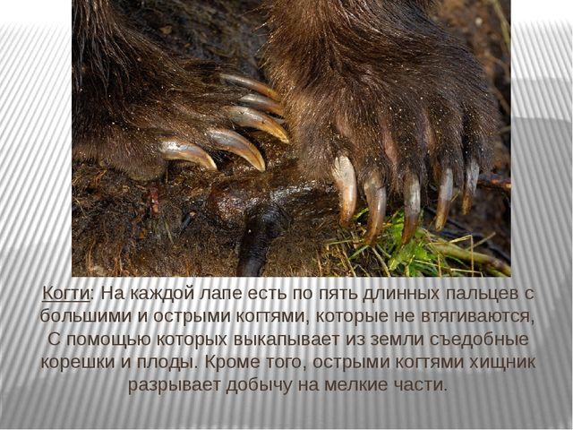 Когти: На каждой лапе есть по пять длинных пальцев с большими и острыми когтя...