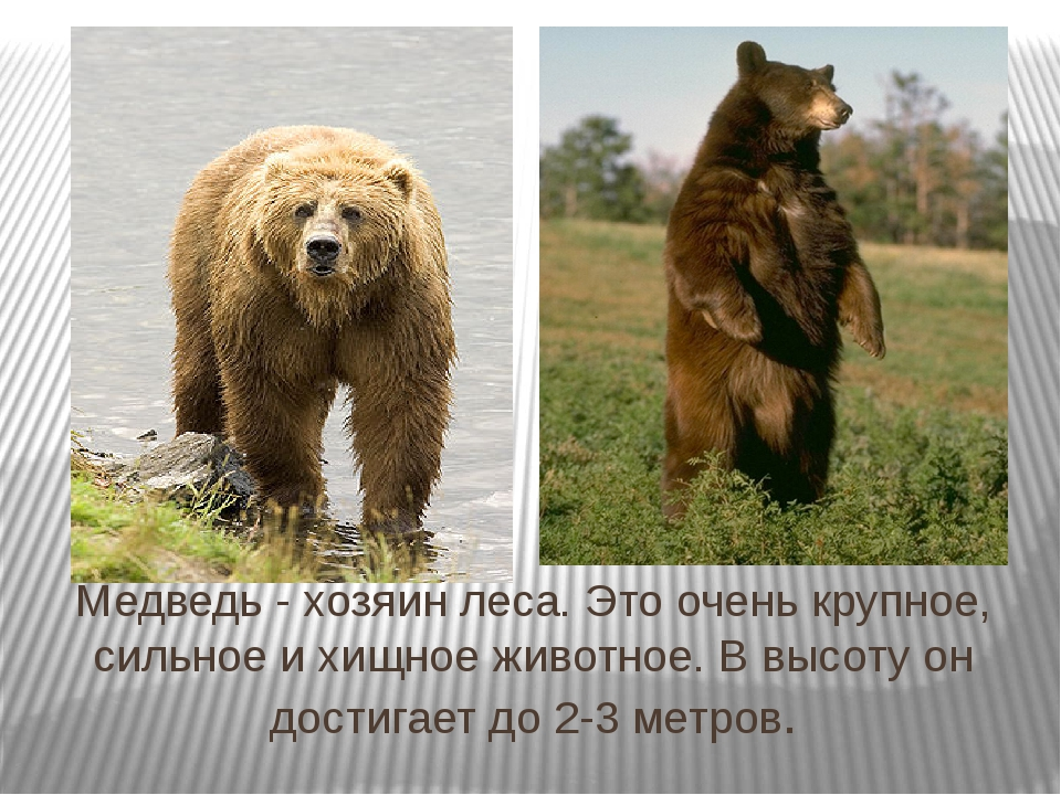 Медведь - хозяин леса. Это очень крупное, сильное и хищное животное. В высоту...