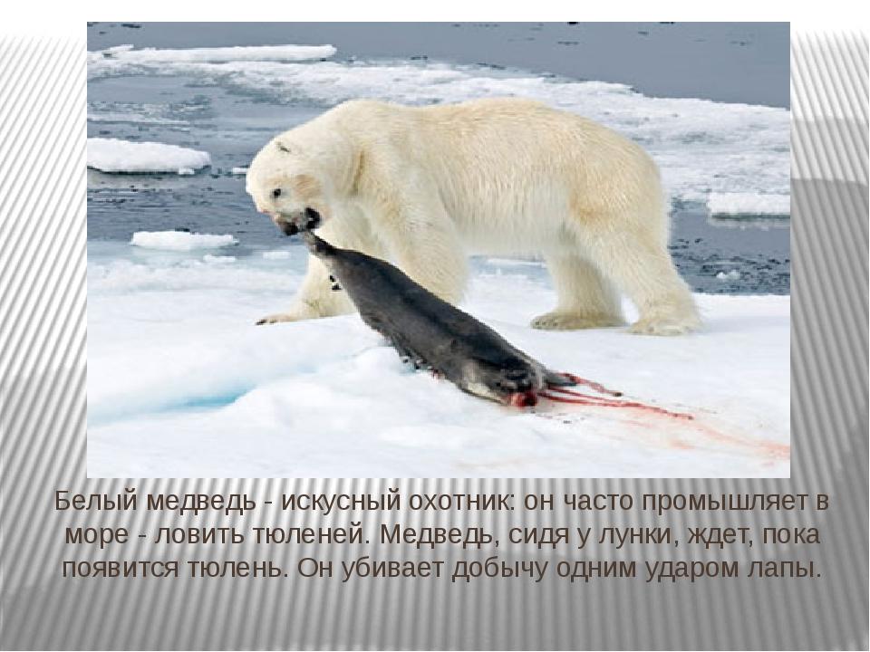 Белый медведь - искусный охотник: он часто промышляет в море - ловить тюленей...