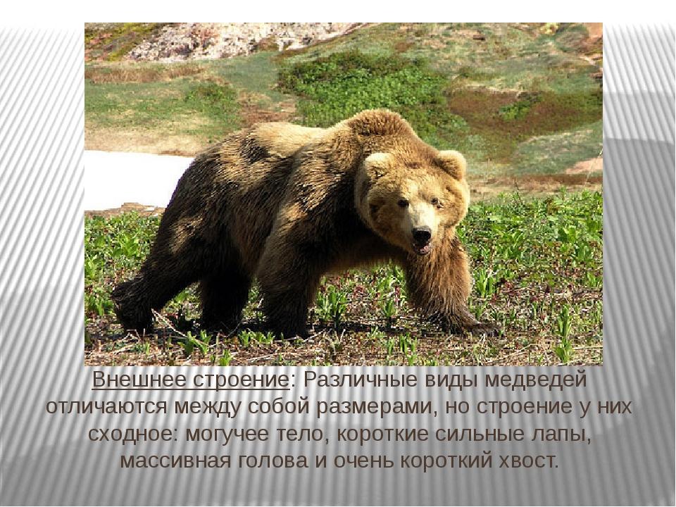 Внешнее строение: Различные виды медведей отличаются между собой размерами, н...
