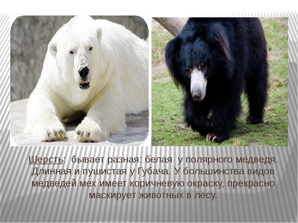 Шерсть: бывает разная: белая у полярного медведя. Длинная и пушистая у Губача...