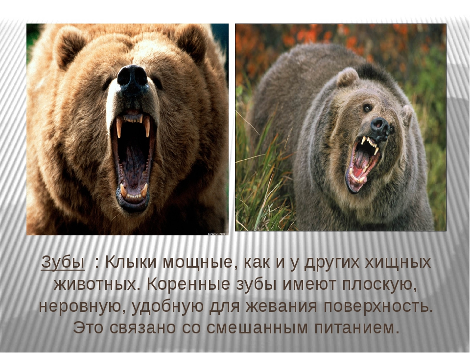 Зубы : Клыки мощные, как и у других хищных животных. Коренные зубы имеют плос...
