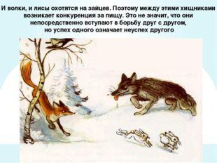 И волки, и лисы охотятся на зайцев. Поэтому между этими хищниками возникает к