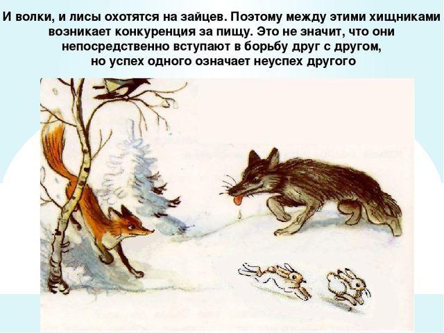 И волки, и лисы охотятся на зайцев. Поэтому между этими хищниками возникает к...