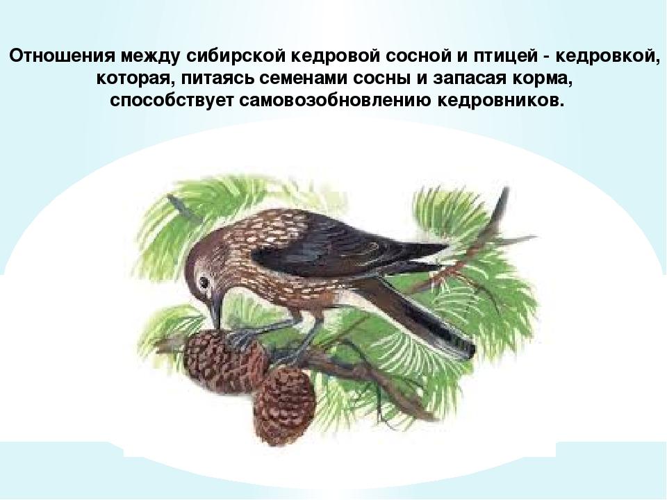 Отношения между сибирской кедровой сосной и птицей - кедровкой, которая, пита...