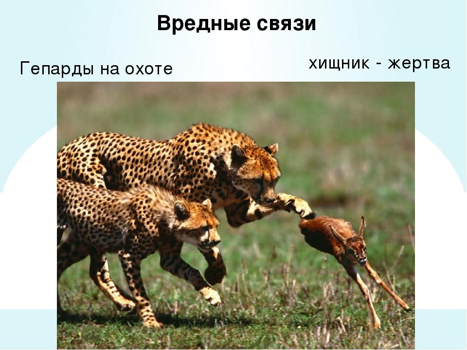 Вредные связи Гепарды на охоте хищник - жертва