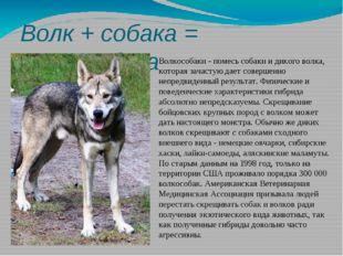 Волк + собака = волкособака Волкособаки - помесь собаки и дикого волка, котор