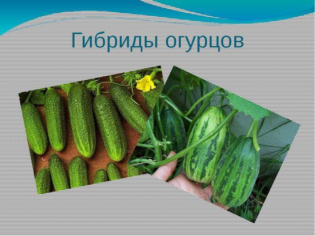 Гибриды огурцов