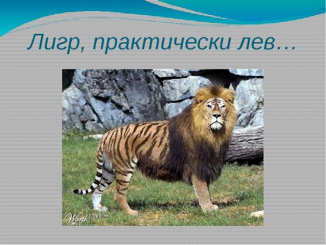 Лигр, практически лев…