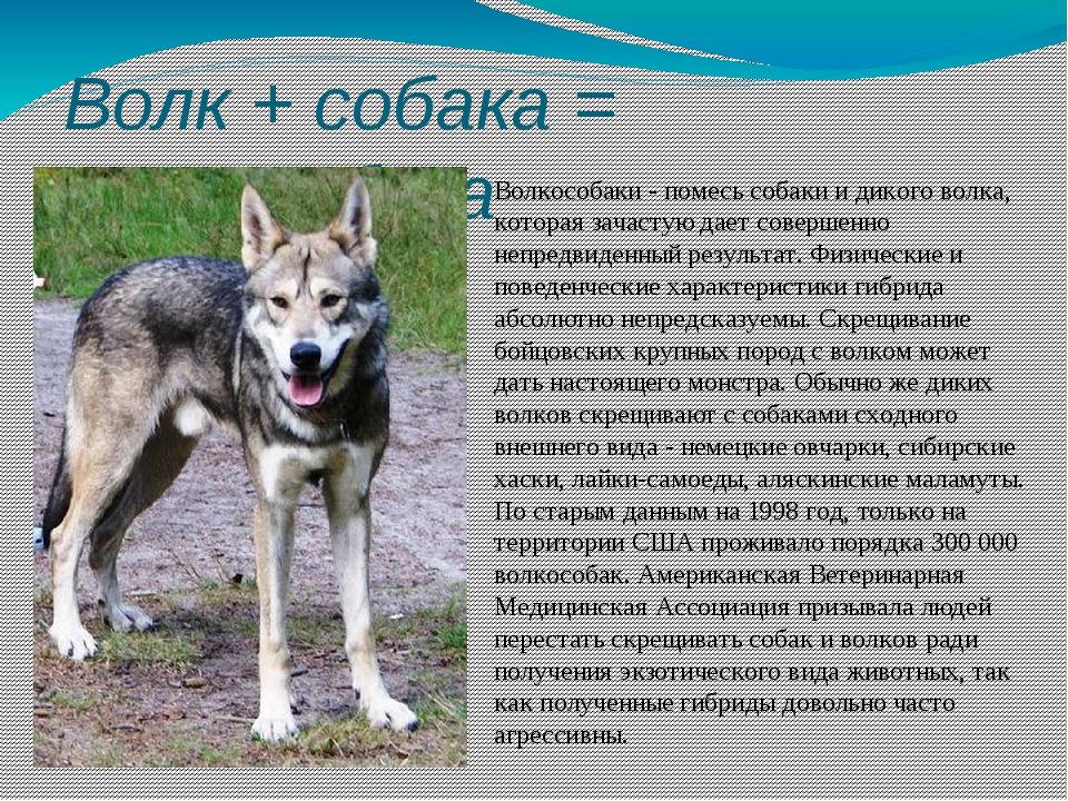 Волк + собака = волкособака Волкособаки - помесь собаки и дикого волка, котор...