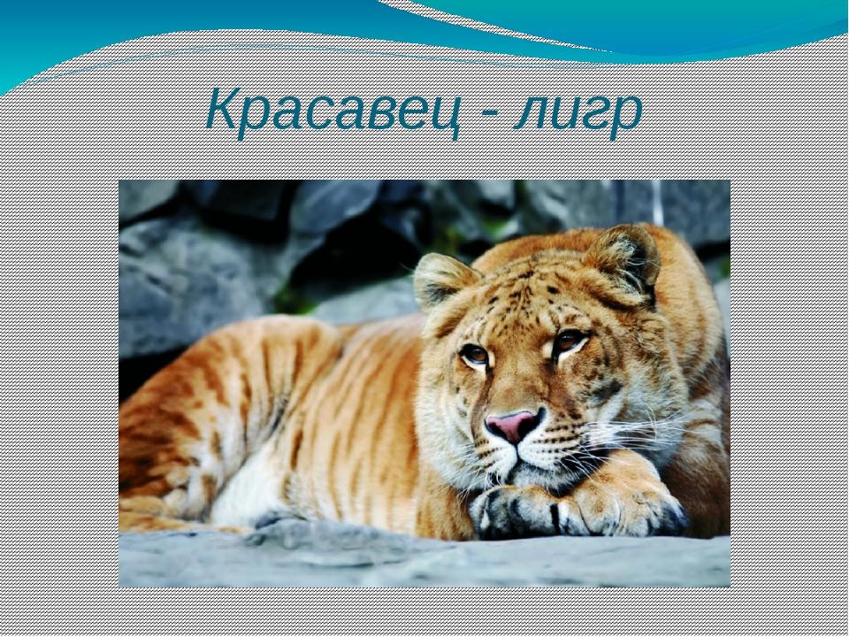 Красавец - лигр