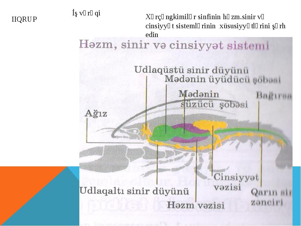 IIQRUP Xərçəngkimilər sinfinin həzm.sinir və cinsiyyət sistemlərinin xüsusiyy...