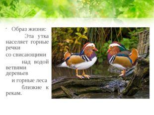 Образ жизни: Эта утка населяет горные речки со свисающими над водой ветвями д