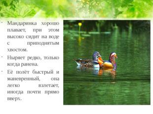 Мандаринка хорошо плавает, при этом высоко сидит на воде с приподнятым хвосто