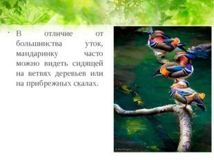 В отличие от большинства уток, мандаринку часто можно видеть сидящей на ветвя