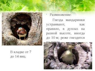 Размножение: Гнезда мандаринки устраивают, как правило, в дуплах на разной в