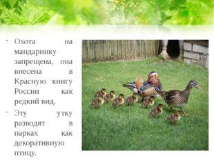 Охота на мандаринку запрещена, она внесена в Красную книгу России как редкий