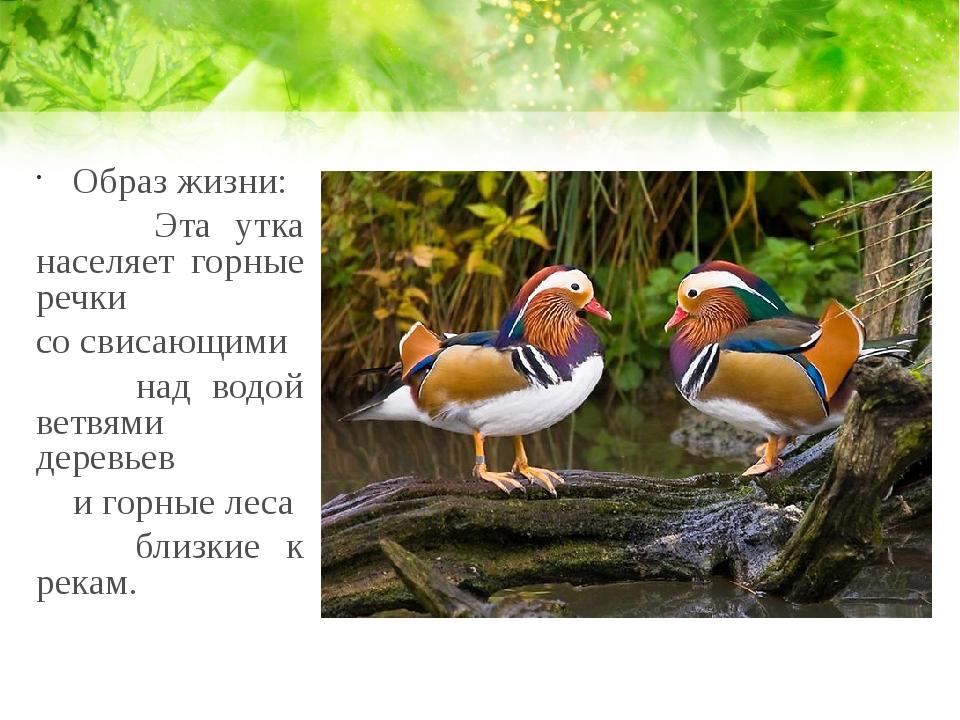 Образ жизни: Эта утка населяет горные речки со свисающими над водой ветвями д...