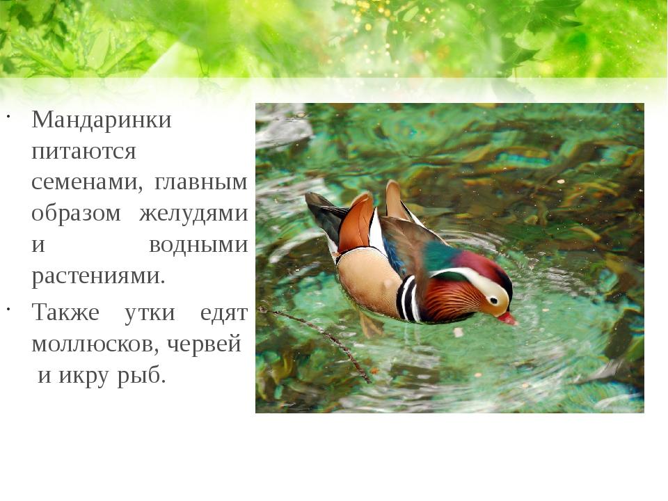 Мандаринки питаются семенами, главным образом желудями и водными растениями....