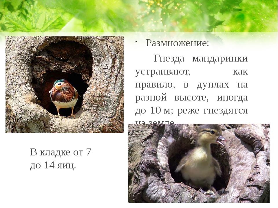 Размножение: Гнезда мандаринки устраивают, как правило, в дуплах на разной в...