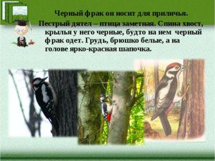 Черный фрак он носит для приличья. Пестрый дятел – птица заметная. Спина хвос