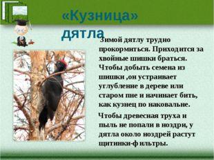«Кузница» дятла Зимой дятлу трудно прокормиться. Приходится за хвойные шишки