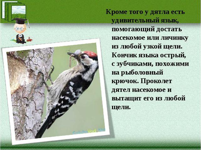 Кроме того у дятла есть удивительный язык, помогающий достать насекомое или л...