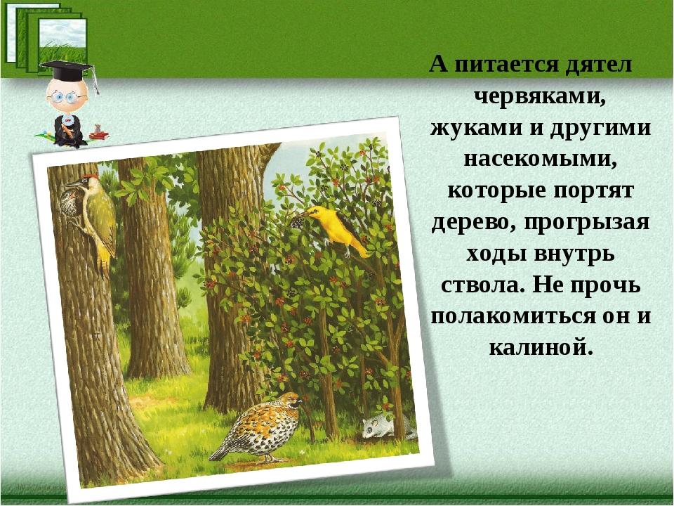 А питается дятел червяками, жуками и другими насекомыми, которые портят дерев...