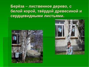 Берёза – лиственное дерево, с белой корой, твёрдой древесиной и сердцевидными