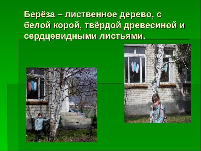 Берёза – лиственное дерево, с белой корой, твёрдой древесиной и сердцевидными...