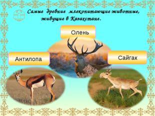 Самые древние млекопитающие животные, живущие в Казахстане. Олень Сайгак Анти