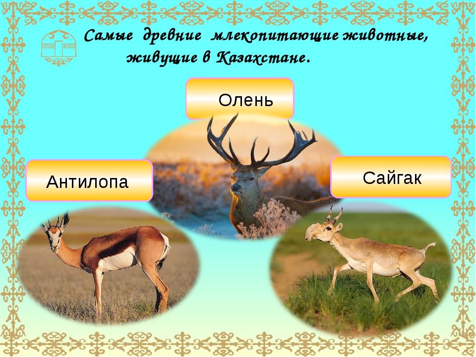 Самые древние млекопитающие животные, живущие в Казахстане. Олень Сайгак Анти...