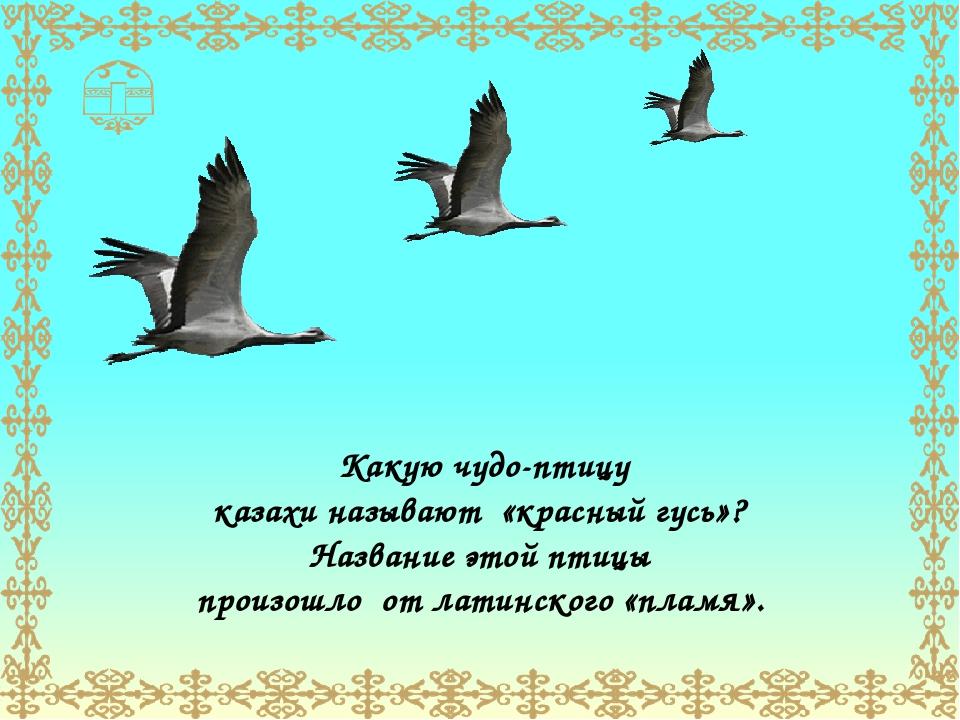 Какую чудо-птицу казахи называют «красный гусь»? Название этой птицы произошл...