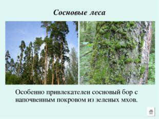 Сосновые леса Особенно привлекателен сосновый бор с напочвенным покровом из