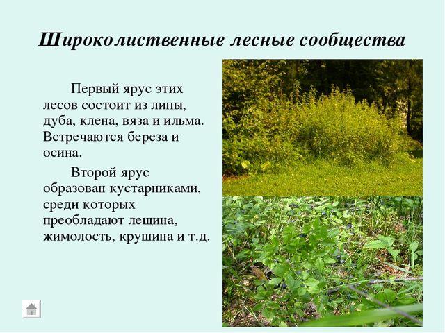 Широколиственные лесные сообщества Первый ярус этих лесов состоит из липы,...