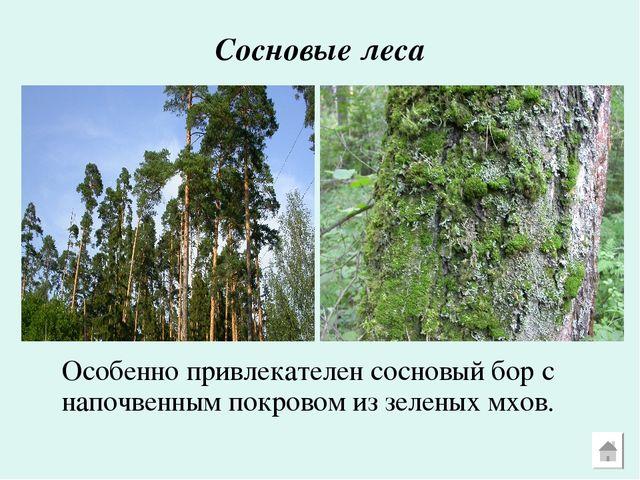 Сосновые леса Особенно привлекателен сосновый бор с напочвенным покровом из...