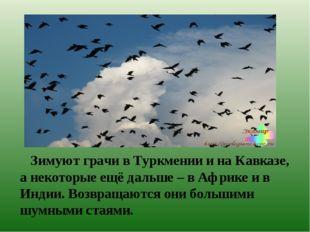 Зимуют грачи в Туркмении и на Кавказе, а некоторые ещё дальше – в Африке и в