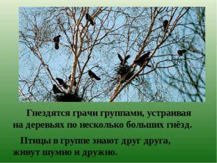 Гнездятся грачи группами, устраивая на деревьях по несколько больших гнёзд.