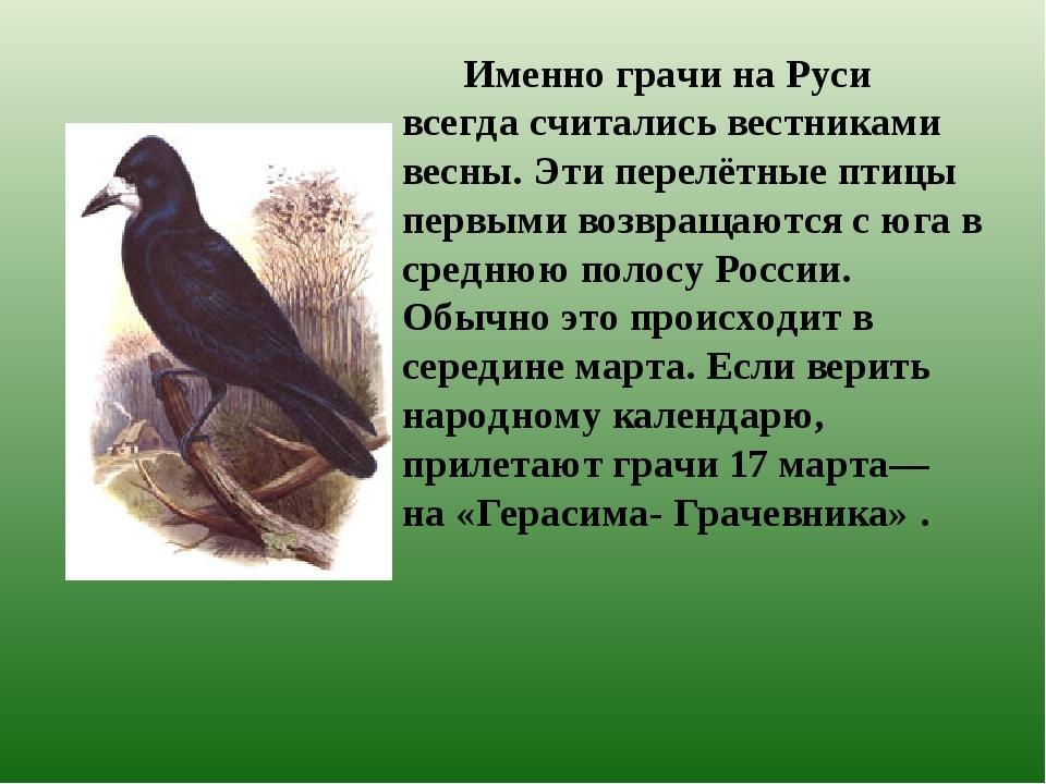 Именно грачи на Руси всегда считались вестниками весны. Эти перелётные птицы...